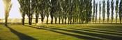 Poplar Trees Near A Wheat Field, Twin Falls, Idaho, USA