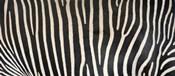 Grevey's Zebra Stripes
