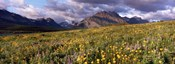 Flowers in a field, Glacier National Park, Montana, USA