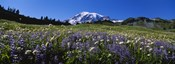 Wildflowers On A Landscape, Mt Rainier National Park, Washington State, USA