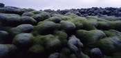 Close-up of moss on rocks, Iceland