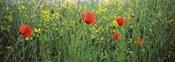 Poppies blooming in oilseed rape (Brassica napus) field, Baden-Wurttemberg, Germany
