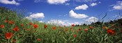 Red poppies blooming in a field, Baden-Wurttemberg, Germany