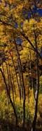Tall Aspen trees in autumn, Colorado, USA