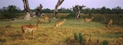 Herd of impalas (Aepyceros Melampus) grazing in a field, Moremi Wildlife Reserve, Botswana