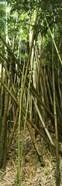 Bamboo stems, Oheo Gulch, Seven Sacred Pools, Hana, Maui, Hawaii, USA