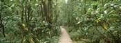 Young bamboo with path, Oheo Gulch, Seven Sacred Pools, Hana, Maui, Hawaii, USA