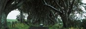 Trees at the Dark Hedges, Armoy, County Antrim, Northern Ireland