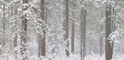 Snow covered Ponderosa Pine trees in a forest, Indian Ford, Oregon, USA