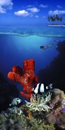 Underwater view of sea anemone and Humbug fish and Pufferfish with a scuba diver
