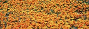 High angle view of California Golden Poppies, Antelope Valley California Poppy Reserve, California, USA