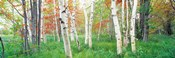 Birch trees in a forest, Acadia National Park, Maine