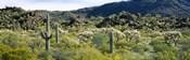 Saguaro cactus (Carnegiea gigantea) in a field, Sonoran Desert, Arizona, USA