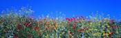 Poppy field Tableland N Germany