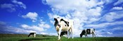 Cows In Field, Lake District, England, United Kingdom