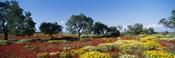 Poppy Meadow with Almond Trees, Majorca, Spain
