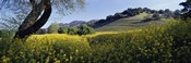 Mustard Flowers Blooming In A Field, Napa Valley, California