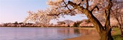 Cherry blossom tree along a lake, Potomac Park, Washington DC, USA