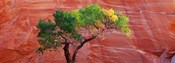 Low Angle View Of A Cottonwood Tree In Front Of A Sandstone Wall, Escalante National Monument, Utah, USA
