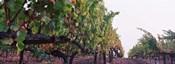 Crops in a vineyard, Sonoma County, California, USA