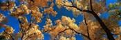 Low angle view of cottonwood tree, Canyon De Chelly, Arizona, USA