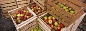 High angle view of harvested apples in wooden crates, Weinsberg, Baden-Wurttemberg, Germany