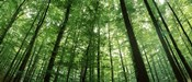 Low angle view of beech trees, Baden-Wurttemberg, Germany