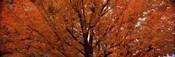 Maple tree in autumn, Vermont, USA
