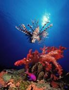 Lionfish (Pteropterus radiata) and Squarespot anthias (Pseudanthias pleurotaenia) with soft corals in the ocean