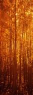 Aspen trees at sunrise in autumn, Colorado (vertical)