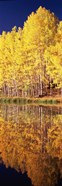 Reflection of Aspen trees in a lake, Telluride, San Miguel County, Colorado, USA