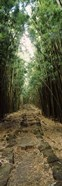 Opening to the sky in a Bamboo forest, Oheo Gulch, Seven Sacred Pools, Hana, Maui, Hawaii, USA