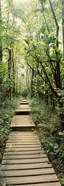 Stepped path surronded by Bamboo shoots, Oheo Gulch, Seven Sacred Pools, Hana, Maui, Hawaii, USA