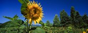 Close up of a sunflower in a field, Hood River, Oregon