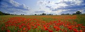 Close Up of Red Poppies in a field, Norfolk, England