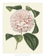 Antique Camellia III