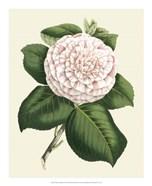 Antique Camellia IV