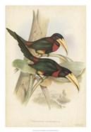 Tropical Toucans VII