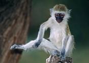 Vervet Monkey Kenya Africa