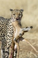 Close-up of a cheetah carrying its kill