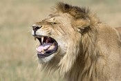 Close-up of a male lion roaring
