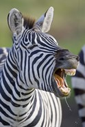 Close-up of a zebra calling, Ngorongoro Crater, Ngorongoro Conservation Area, Tanzania