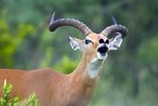 Close-up of an impala (Aepyceros melampus)