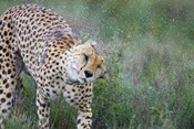 Cheetah shaking off water from its body, Ngorongoro Conservation Area, Tanzania (Acinonyx jubatus)