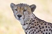 Close-up of a cheetah, Ngorongoro Conservation Area, Arusha Region, Tanzania (Acinonyx jubatus)