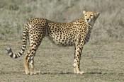 Side profile of a cheetah, Ngorongoro Conservation Area, Arusha Region, Tanzania (Acinonyx jubatus)