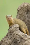 Side profile of a Dwarf mongoose, Tarangire National Park, Arusha Region, Tanzania (Helogale parvula)