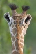 Close-up of a Masai giraffe, Lake Manyara, Arusha Region, Tanzania (Giraffa camelopardalis tippelskirchi)
