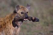 Close-up of a hyena holding a wildebeest's leg, Ngorongoro Conservation Area, Arusha Region, Tanzania