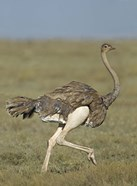 Side profile of an Ostrich running in a field, Ngorongoro Conservation Area, Arusha Region, Tanzania (Struthio camelus)